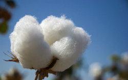 best cotton for vaping